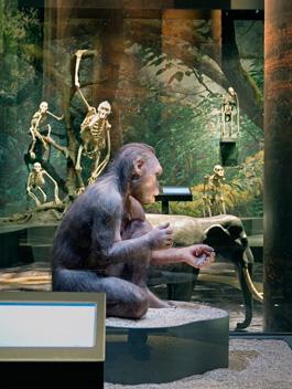 Homo Habilis och apornas släkträd.